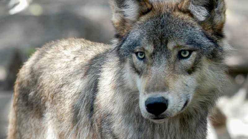 FILE - This July 16, 2004, file photo, shows a gray wolf at the Wildlife Science Center in...