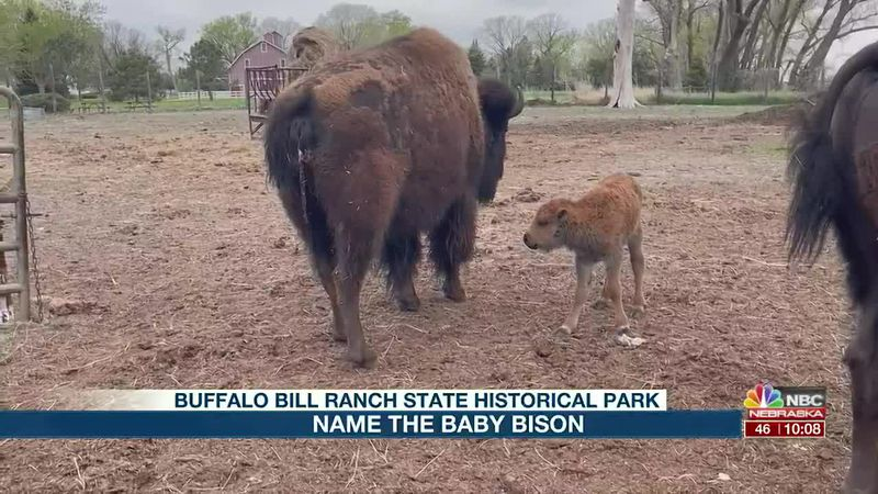 New baby bison at Buffalo State Historical Park