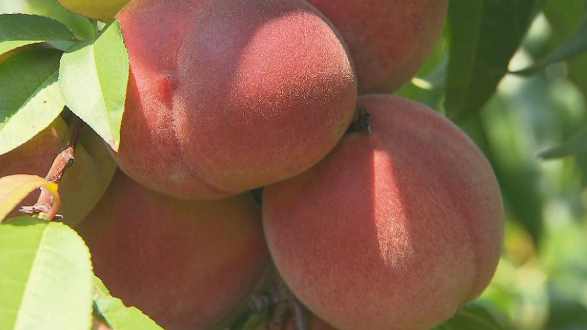 Tennis teams across the area sell peaches as a fundraiser.