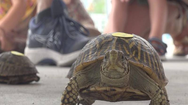 A turtle racing out the circle during the 2021 Turtle Races.