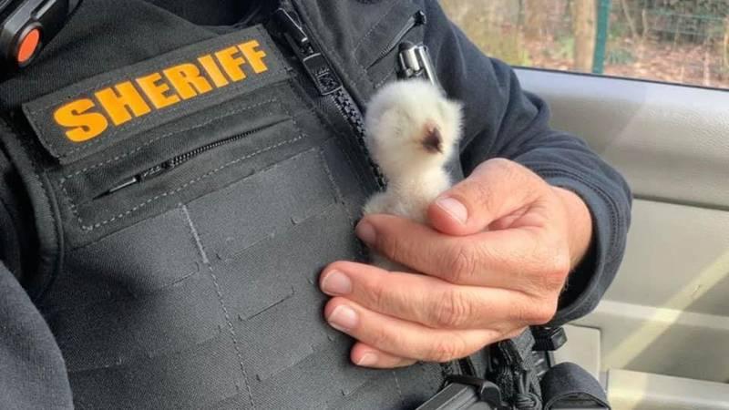 North Carolina deputies help rescue a baby owl.