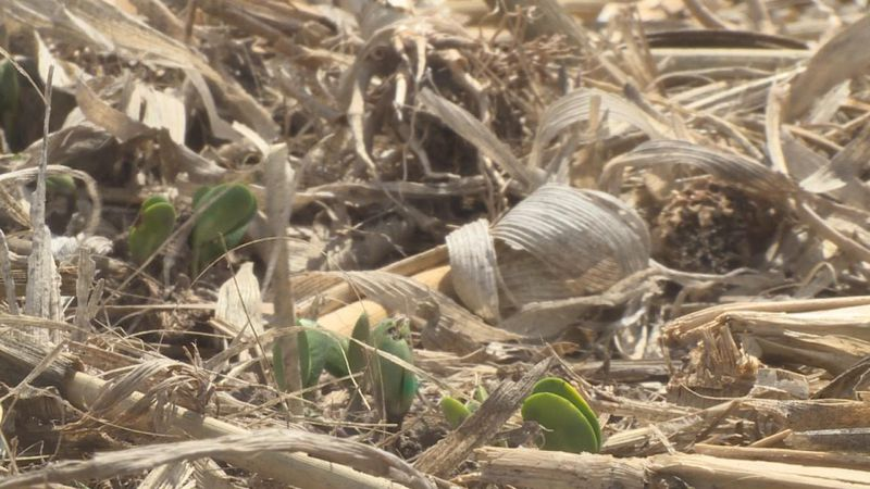 A close up of soybeans planted by Nebraska's West Central Research and Extension Center.